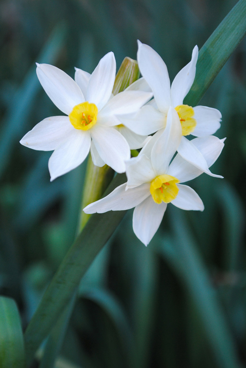 The buttery yellow coronas of Narcissus × italicus