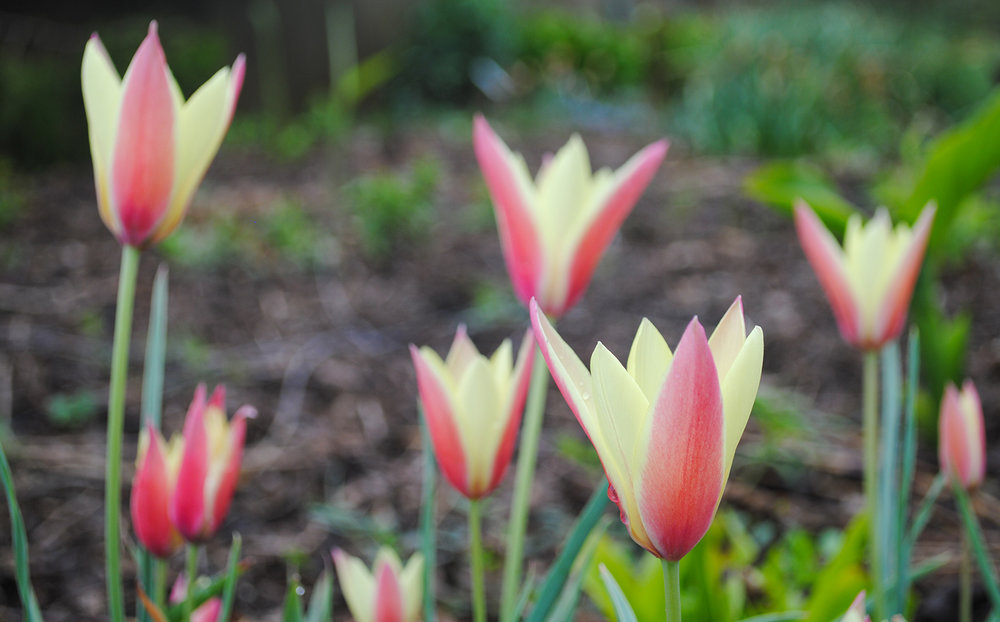 The blushed-red and buttery petals of Tulipa clusiana 'Cynthia' look almost candy-like.