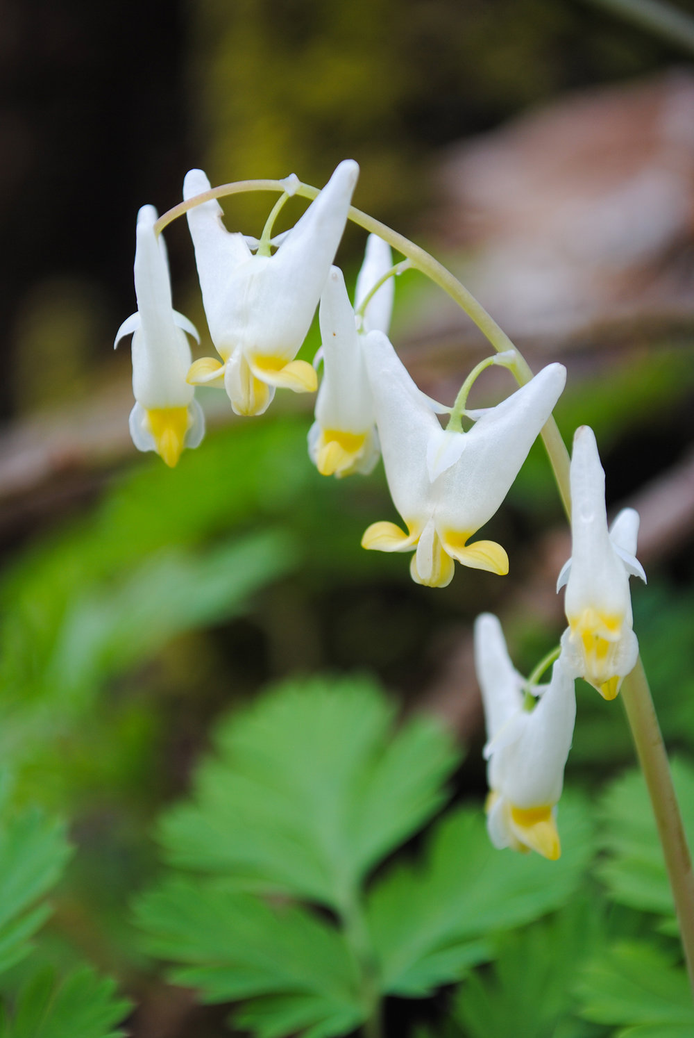 Dicentra cucullaria (Dutchman's breeches). See the hole? Looks like someone forgot to patch their pantalones before hanging them out.