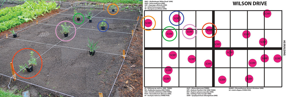 The food prairie grid and food prairie design for Symphyotrichum oblongifolium 'Raydon's Favorite' (aromatic aster).  The red, purple, green, blue, and orange circled plants on the left correspond with the circled plants in the design on the right.  As you can see from the plant placement on the left, students were very adept at finding each propagule's final spot.