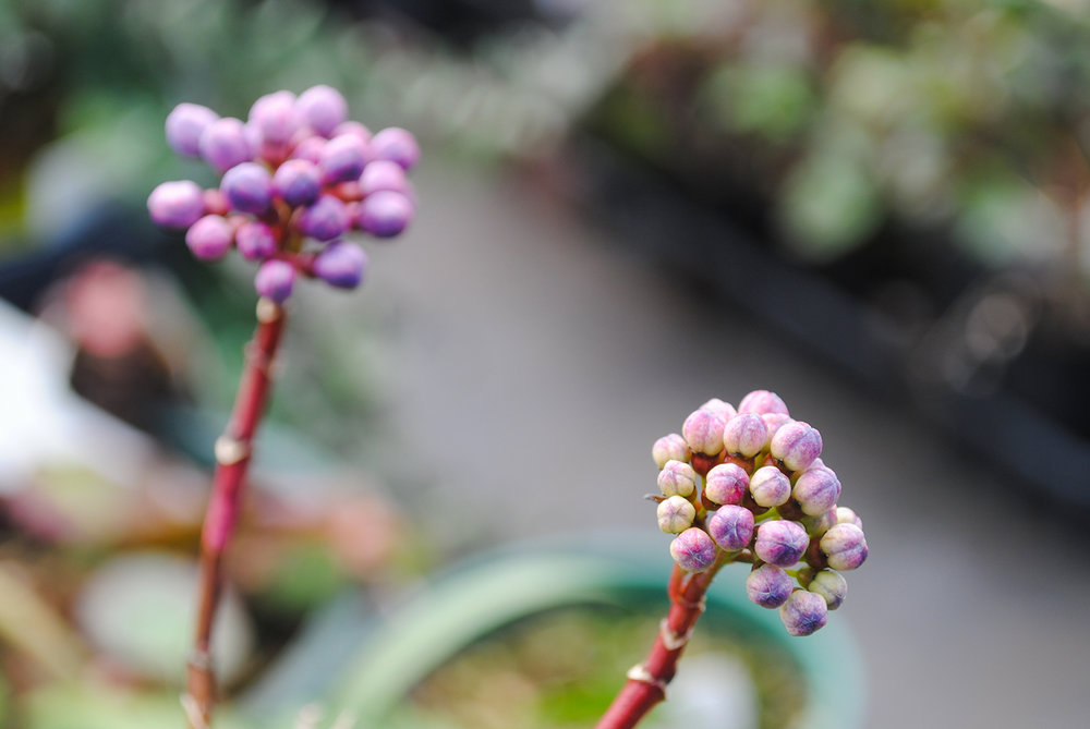 Nerds, anyone?  The candy that is.  The grape-colored buds on ×Didrangea tease a taste.