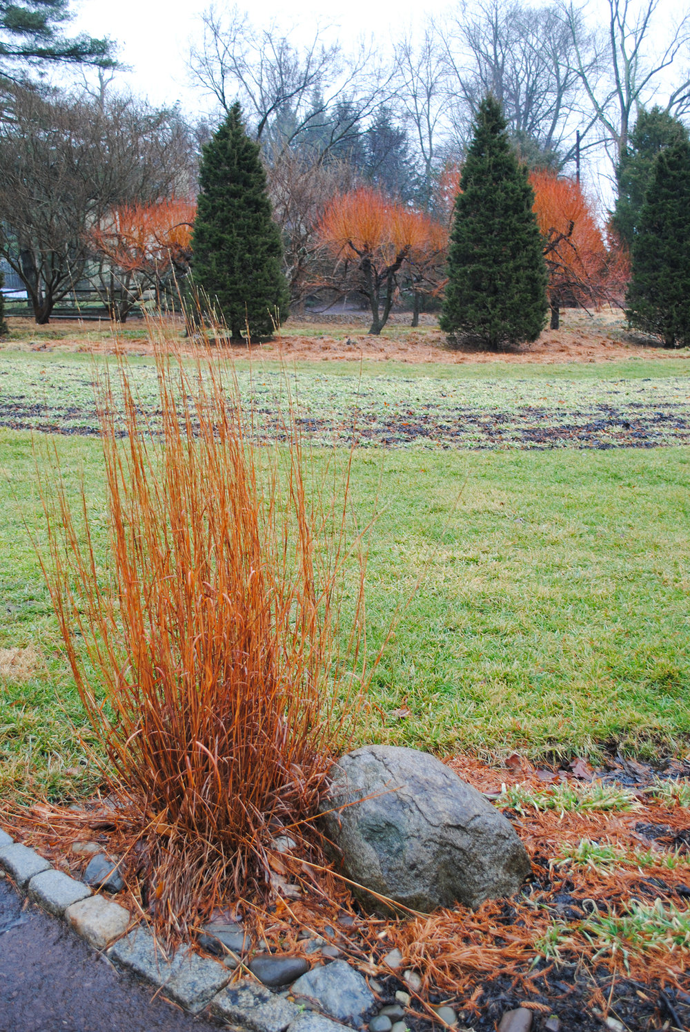 A lone  Schizachryium  echoes the color of the blazing branches of  Salix alba  'Britzensis' in the background.