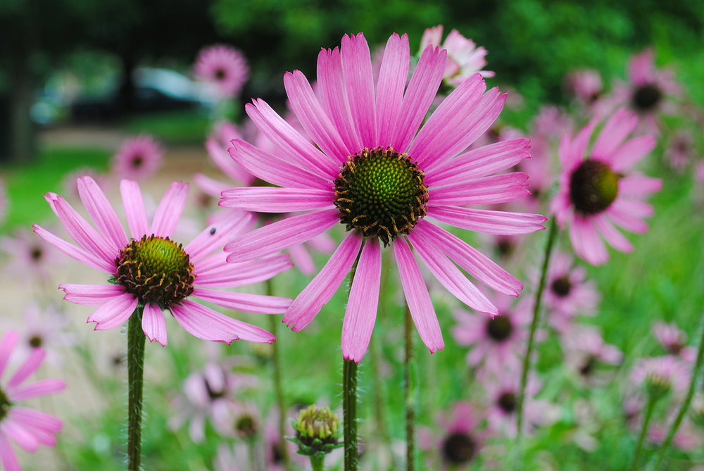 I must admit, when  Echinacea tennesseensis  first bloomed I was amazed at how floriferous it was!