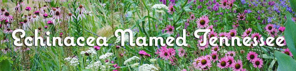 echinacea-tennesseensis-header.jpg