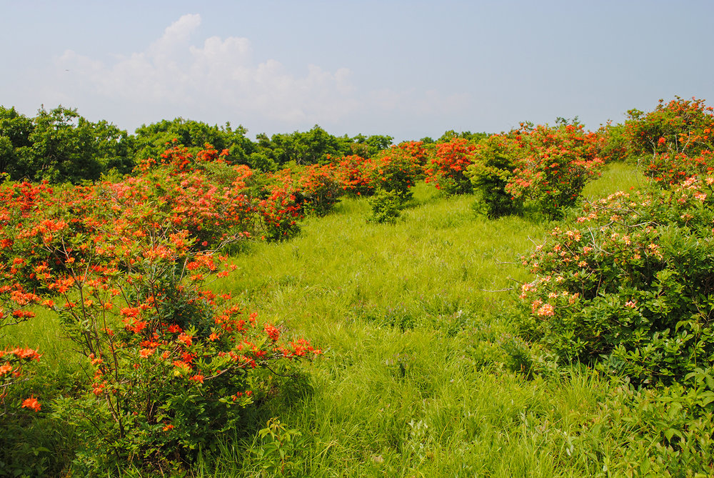 The azaleas on Gregory Bald are breathtaking to witness in full bloom.