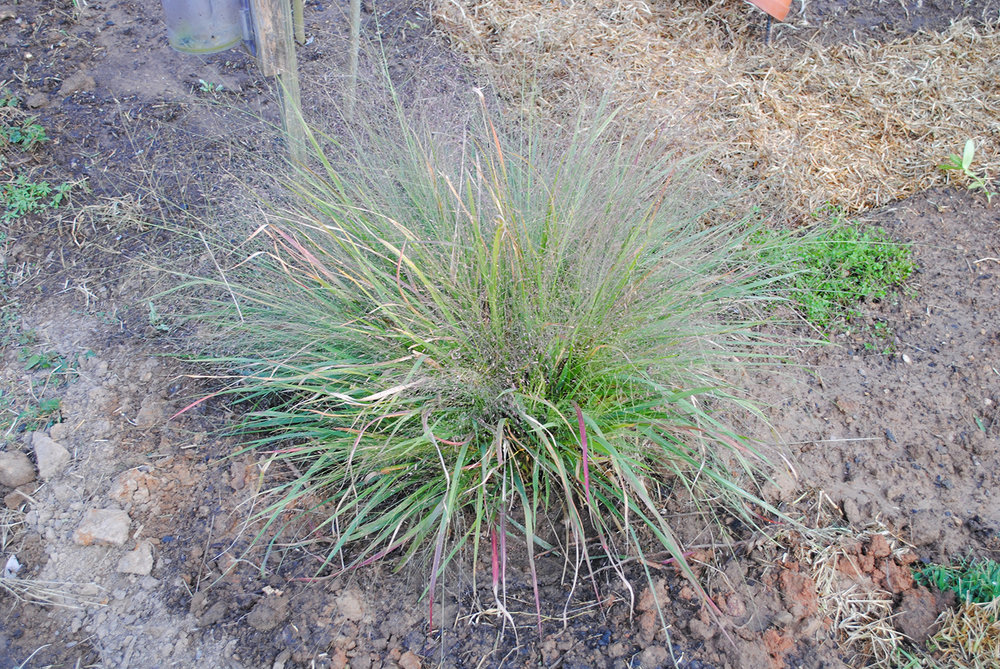 Even though it had a few bruises and browning after being transplanted from the roadside, this mother plant of  Eragrostis  has settled in just fine.  You can see the speckled haze of flowers hovering above the foliage.