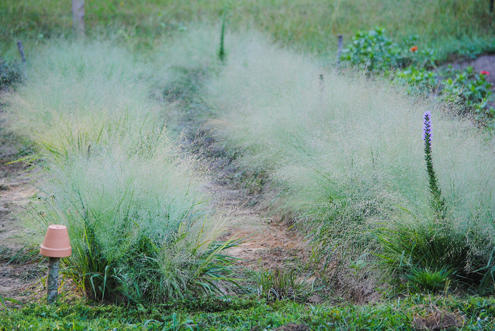 En masse  this  Eragrostis  is spectacular, especially when covered with morning dew.  Here, it is planted along the swale that runs through our edible patch.  Next year, I expect more perennials to be established and piercing the floriferous fog.