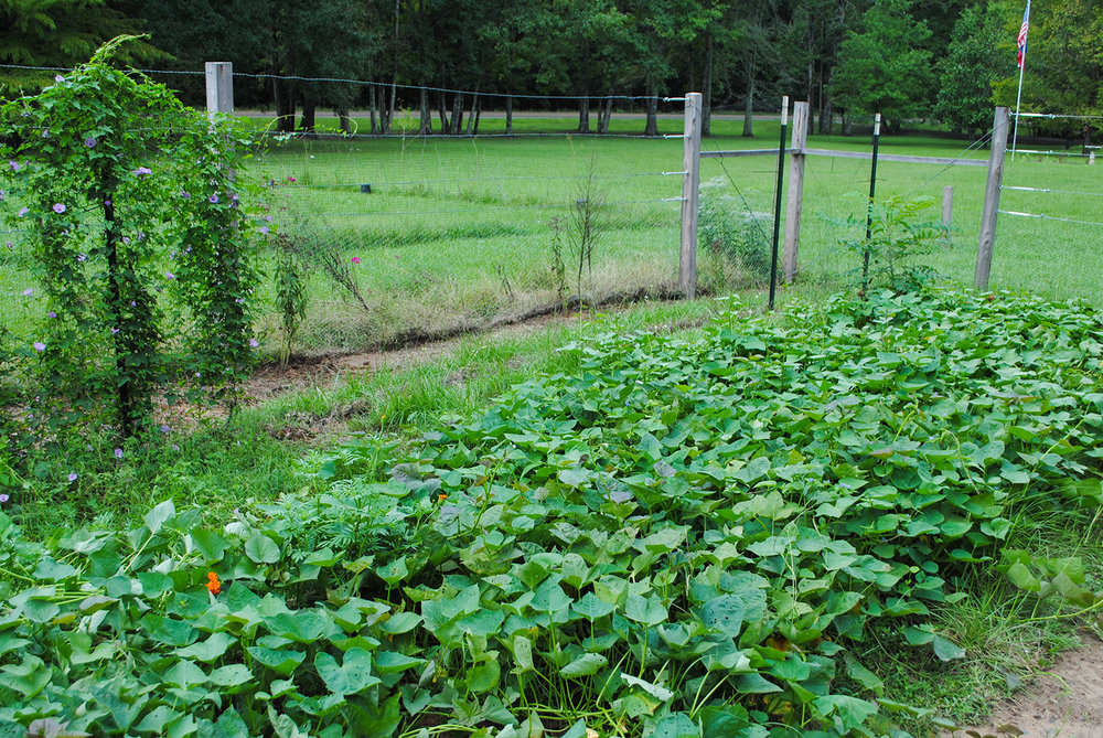 Sweet potatoes are excellent soil covers as you can see in the image above. If you can keep them clean early on, they will seal their canopy and prevent weeds from germinating. However, I left the  Rhus  seedling in the back right corner to be moved to our prairie.