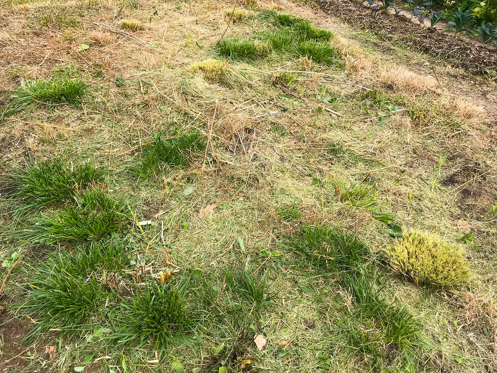 The finished product. Notice the nice layer of chopped plant residue. It is amazing to see 3 to 4 feet of biomass reduced to a few inches. The deep green clumps are  Carex cherokeensis .