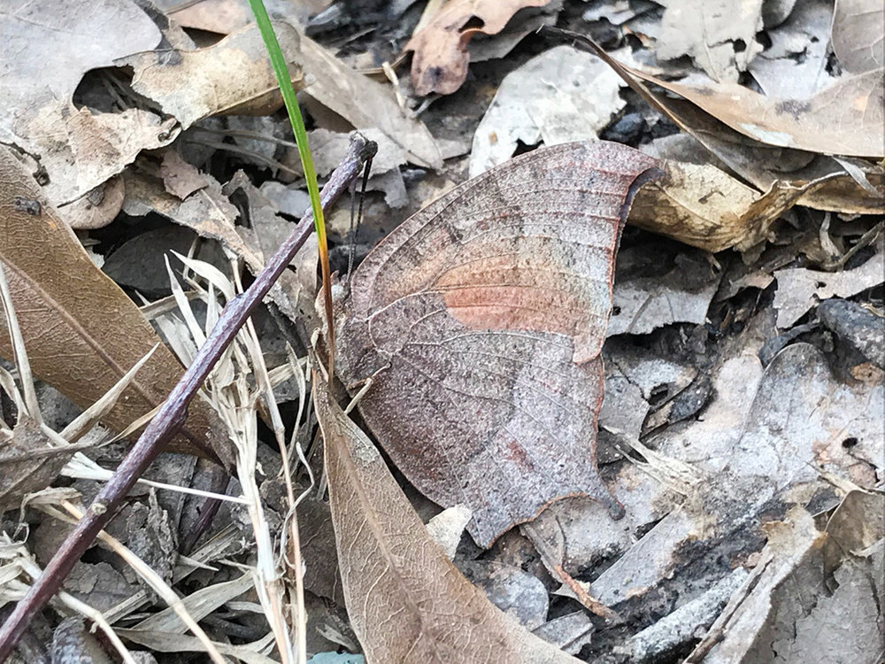 Amazing, eh?! Look at how the Goatweed Leafwing looks just like the oak leaves around it. Its pinnate and reticulate venation pattern game is strong.