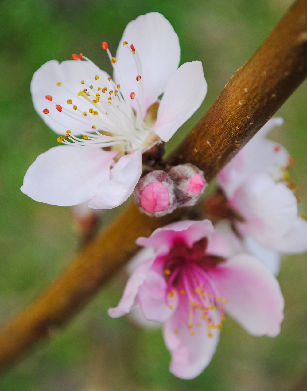 Present, past, and future flowers of 'Flordaking' peach