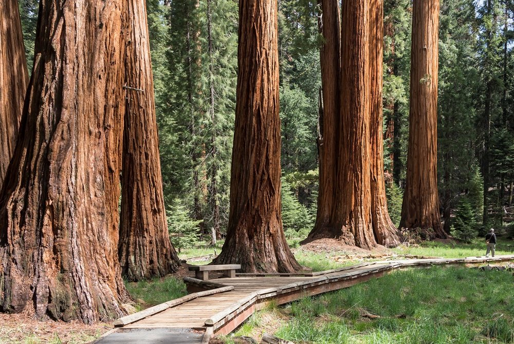 A row of sequoias stand tall along a wooden pathway.  Photo Credit: NPS (National Parks Service)