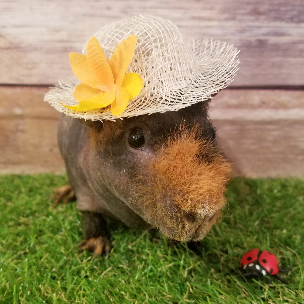 When Le went to a souvenir store she saw the cutest plastic ladybug and decided it would be Gizmo's best friend, who is posed here with a straw hat.