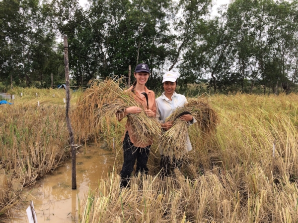 •     Harvesting rice with scythe at CARDI
