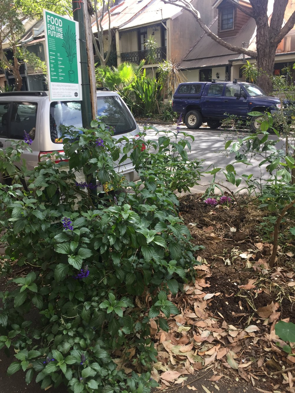 • Salvia, finger lime, mulch and espaliered dwarf fruit trees in Chippendale road gardens