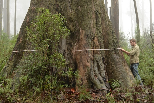 • Researcher David Blaire measuring a tree in the Melbourne city water supply forest