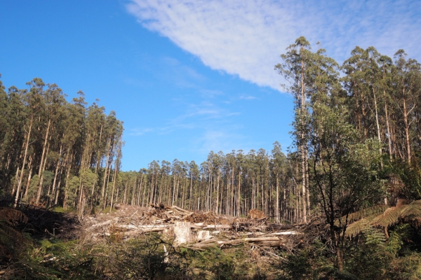 •  Logging in the city's water supply catchment forest: Tabitha Boyer Toolangi logging coupe