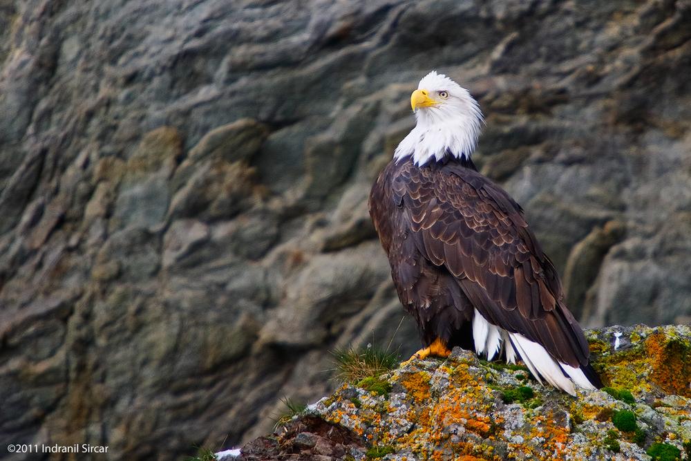 Bald_Eagle_Perched_on_lichen_IMG_7D_62249_Homer_AK.jpg