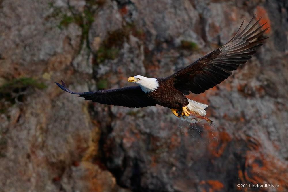 Bald_Eagle_with_fish_rock_bg_7D_59028_Homer_AK.jpg