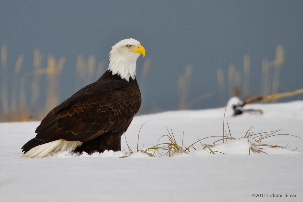Bald_Eagle_in_Snow_IMG_7D_61358_Homer_AK.jpg
