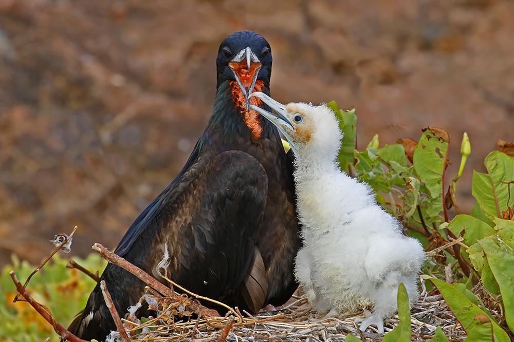 Great Frigatebird feeding chick