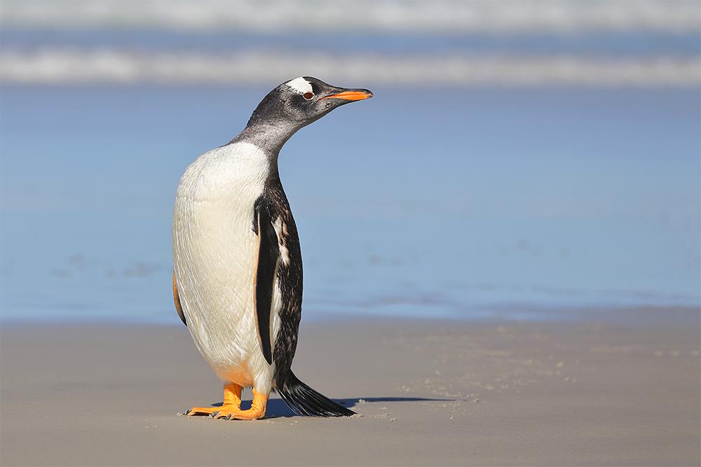 A curious Gentoo Penguin, Saunders Island