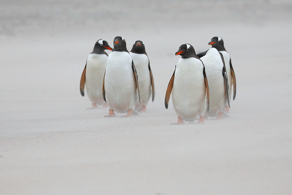 Gentoo Penguins in blowing sand, Bleaker Island