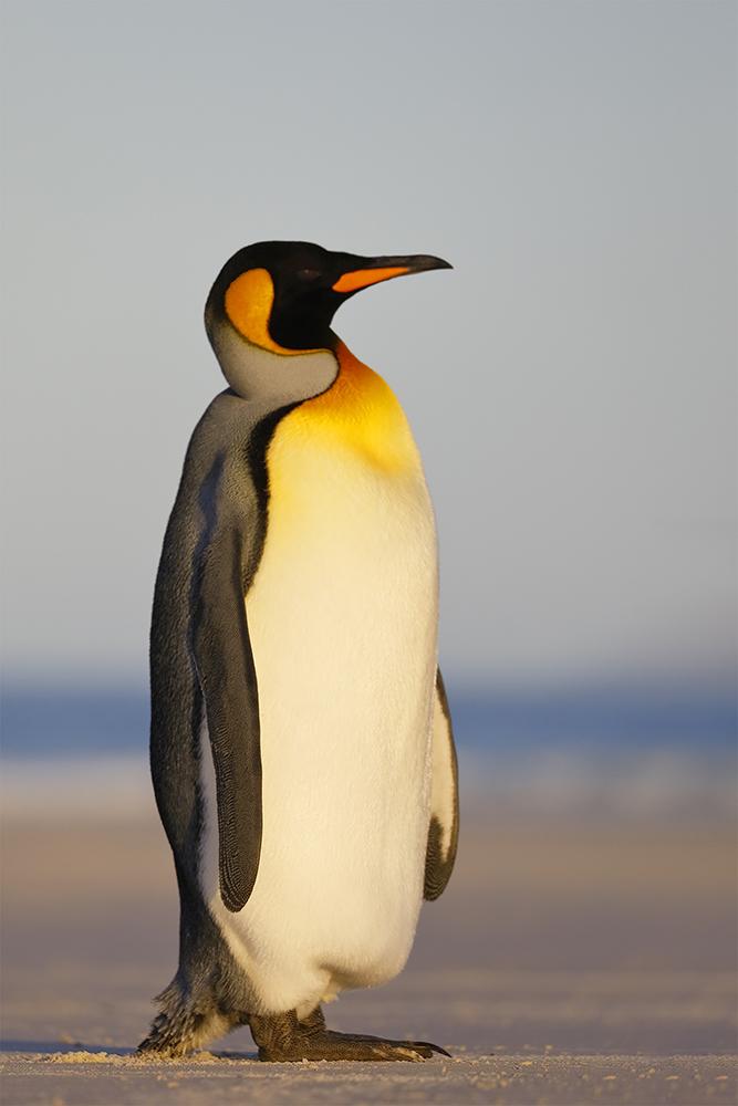 King Penguin, Saunders Island