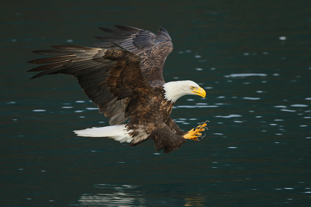 Bald Eagle, Homer, AK