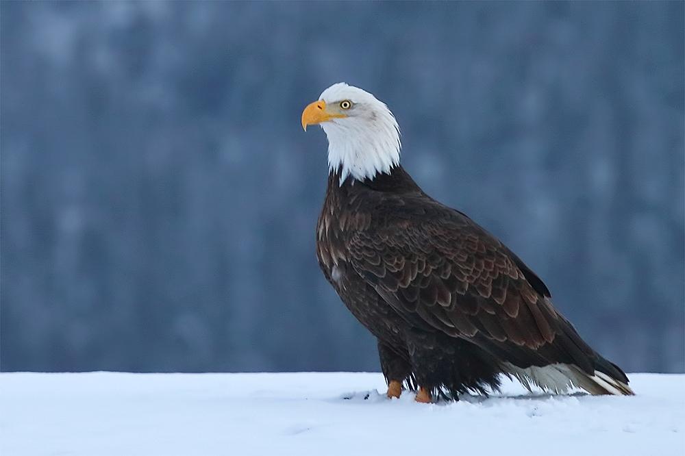 Bald_Eagle_in_Snow_7D_63968_Homer_AK.jpg