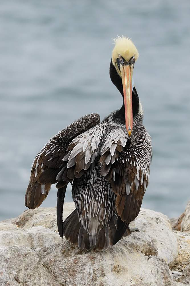 Peruvian Pelican in breeding colors, Viña del Mar