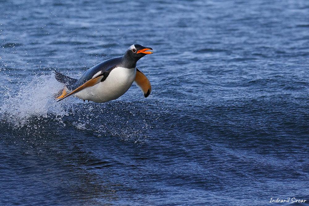 Leaping Gentoo Penguin, Sea Lion Island, Falkland Islands