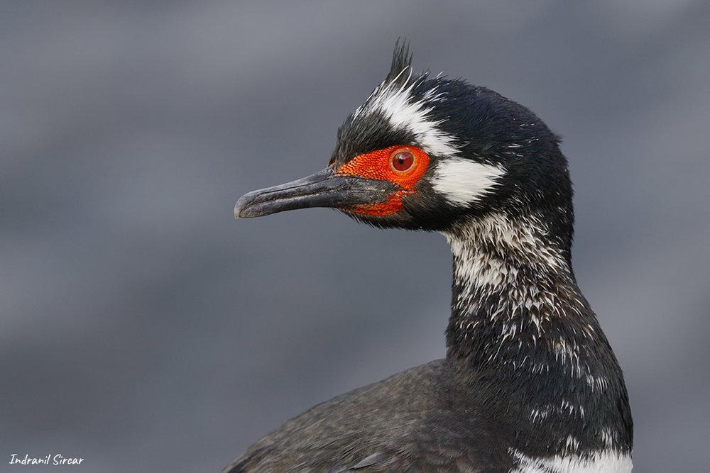 Juvenile Rock Shag (Magellanic cormorant), Bleaker Island, Falkland Islands