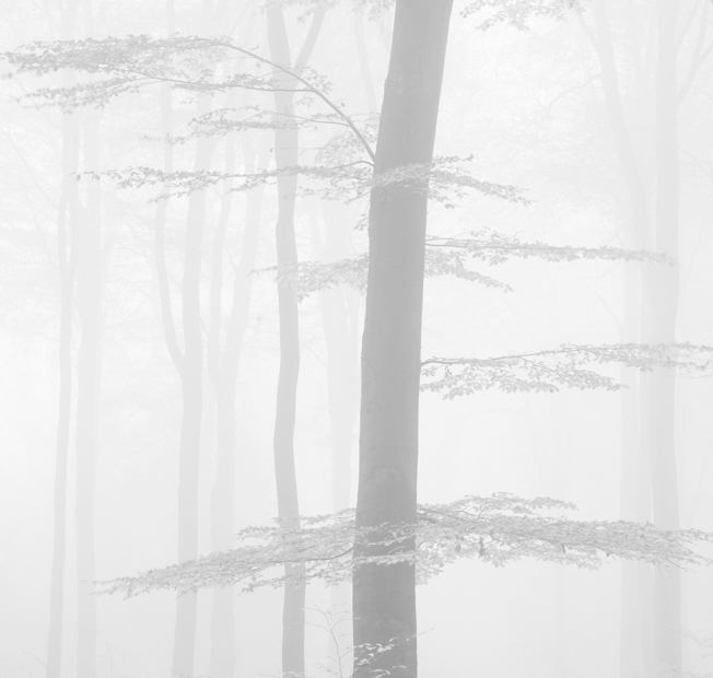 Fall forest in mist, Veluwe, The Netherlands