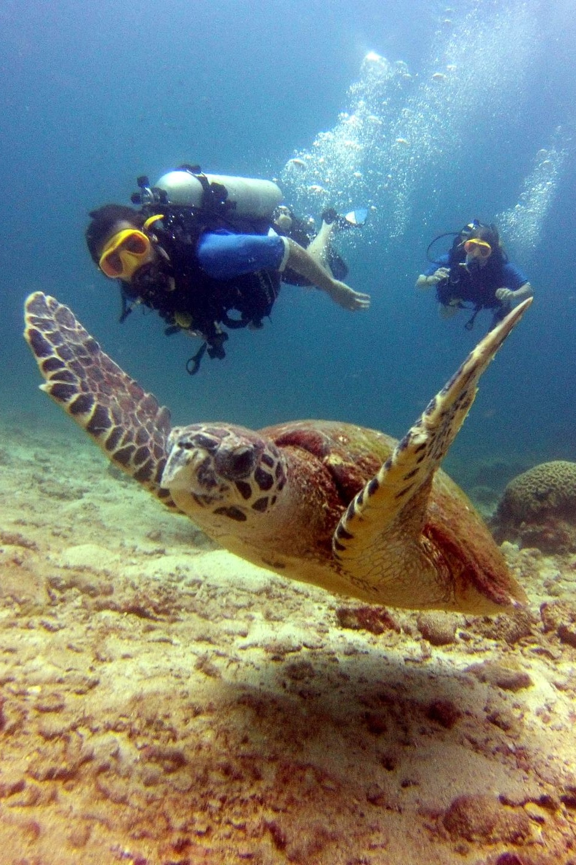 Turtle - Phi Phi - Beachfront Divers.jpg