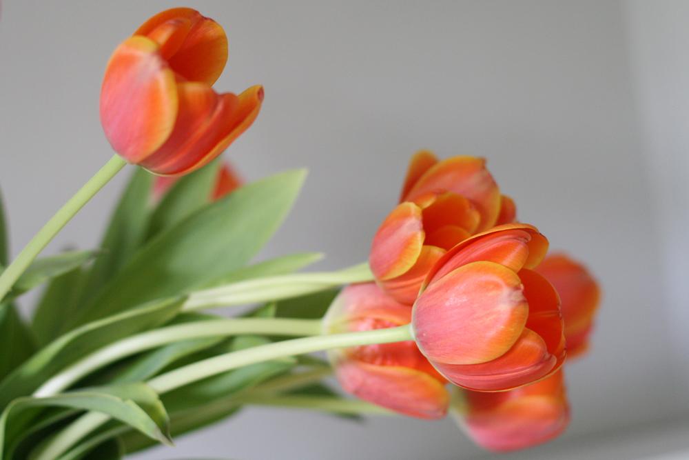 orange-tulips-2