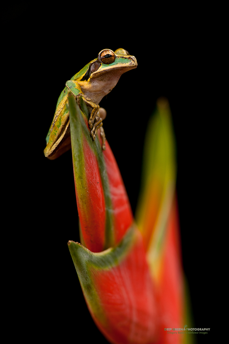 DGPstock-frogs-23.jpg