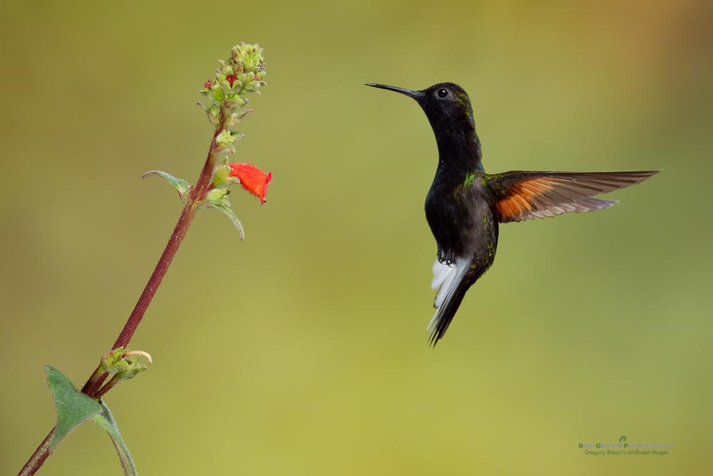DGPstock-hummingbirds-43.jpg
