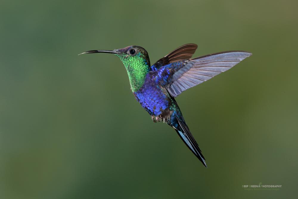 DGPstock-hummingbirds-78.jpg