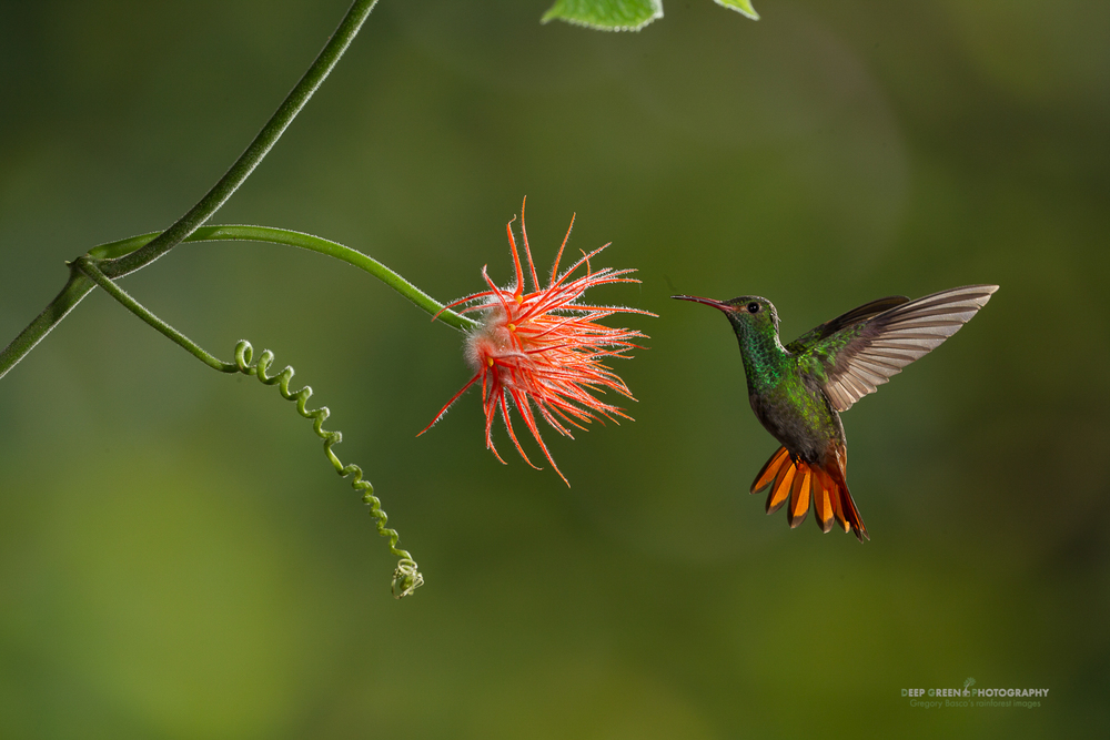 DGPstock-hummingbirds-33.jpg