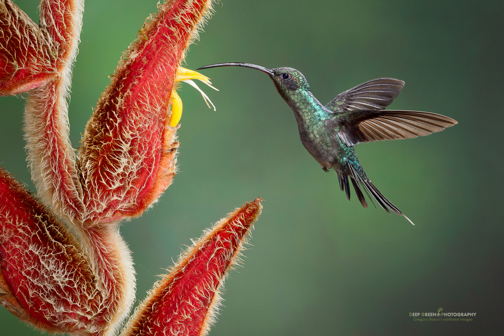 DGPstock-hummingbirds-36.jpg