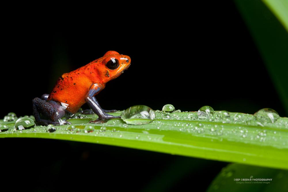 DGPstock-frogs-39.jpg