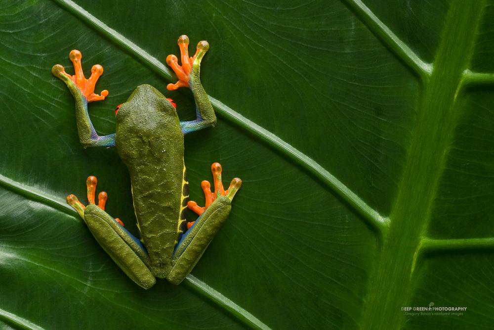 DGPstock-frogs-59.jpg