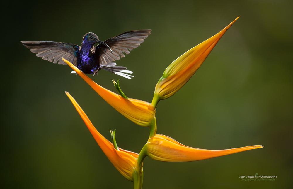 DGPstock-hummingbirds-15.jpg