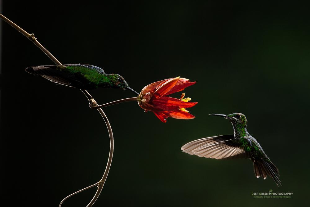 DGPstock-hummingbirds-18.jpg