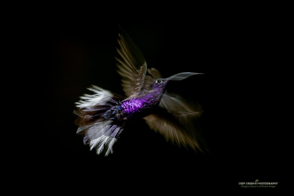 DGPstock-hummingbirds-31.jpg