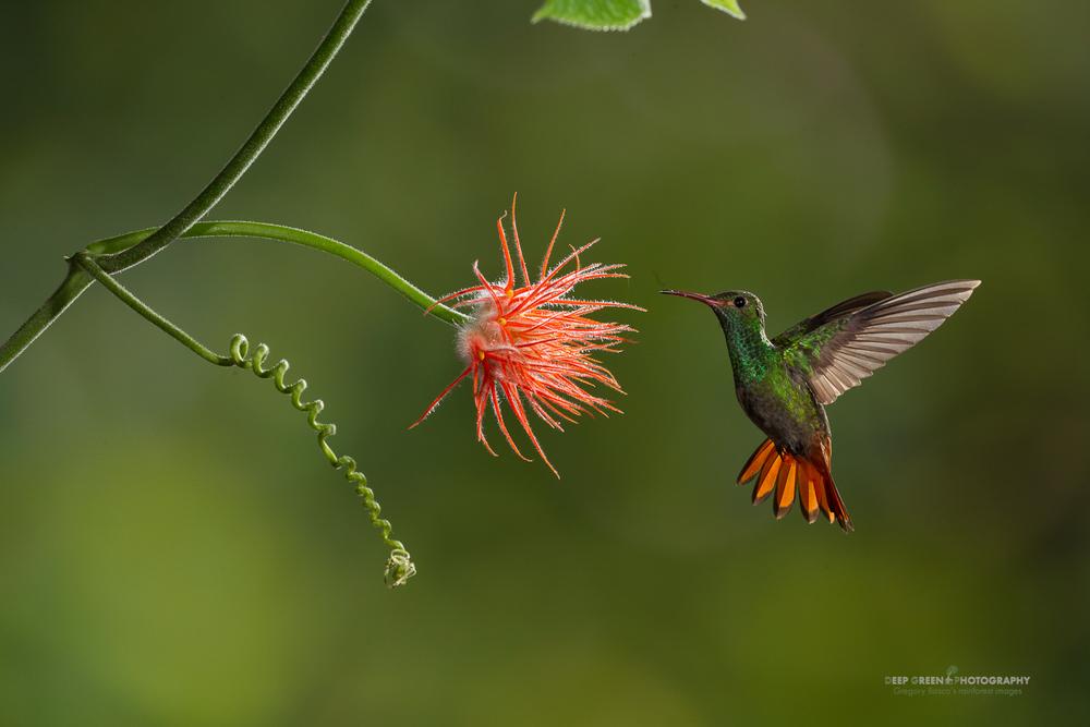 DGPstock-hummingbirds-33.jpg