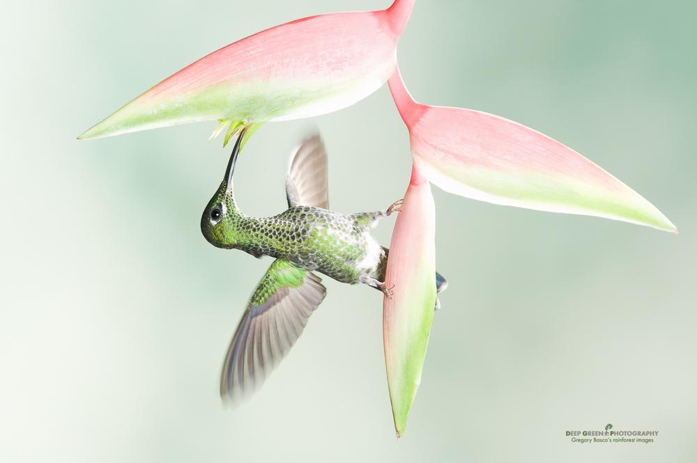 DGPstock-hummingbirds-64.jpg