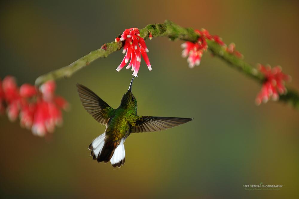 DGPstock-hummingbirds-69.jpg