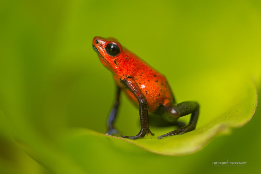 DGPstock-frogs-14.jpg